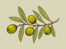 Olive branch engraving style vector Stock Photography