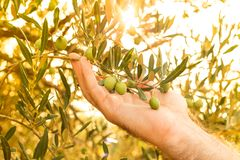 Olive branch in farmer`s hand, close up - agriculture royalty free stock photography