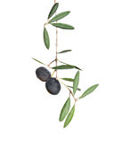 Olive branch with fruits royalty free stock photography