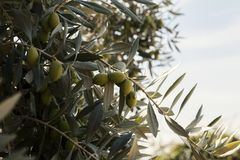 Olive branch with fruits. Close up Stock Image