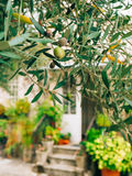 Olive branch with fruits. Olive groves and gardens in Montenegro.  Royalty Free Stock Photos