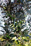 Olive branch with green fruits Royalty Free Stock Photography