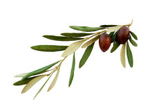 Olive branch with green leaves on a white