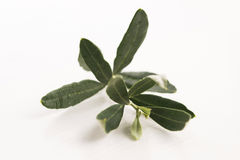 Olive branch with green leaves Stock Image