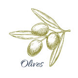 Olive branch of green olives vector sketch Royalty Free Stock Photo