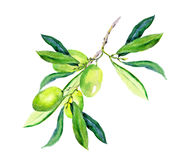 Olive branch - green olives. Watercolor. Olive branch - green olives vegetables and leaves. Watercolor Royalty Free Stock Photos