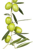 Olive branch. With green olives  on white Stock Images