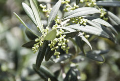 Olive branch. Green olive branch with small fruits of olives Stock Image