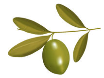 Olive on branch illustration Stock Photo