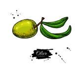 Olive Branch Illustrazione disegnata a mano di vettore Fotografie Stock
