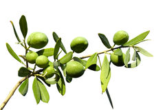 Olive branch on an isolated background Royalty Free Stock Photos