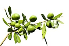 Olive branch on an isolated background Royalty Free Stock Photo