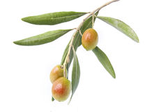 Olive on branch. Isolated in white background Royalty Free Stock Photography