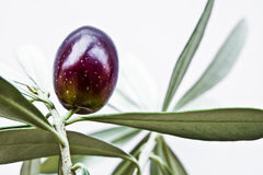 Olive on branch Royalty Free Stock Image