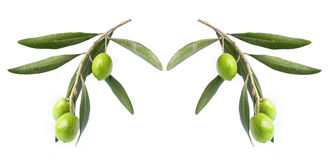 Olive on branch. Isolated in white background royalty free stock photo