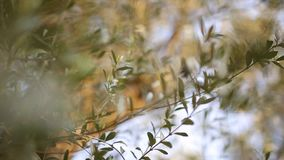 Olive branch with leaves close-up. Olive groves and gardens in M. Ontenegro stock footage