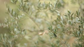 Olive branch with leaves close-up. Olive groves and gardens in M. Ontenegro stock video