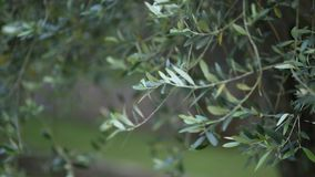 Olive branch with leaves close-up. Olive groves and gardens in M. Ontenegro stock video footage