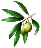 Olive branch with leaves Royalty Free Stock Photo