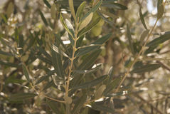 Olive branch. With leaves and olives ripening Royalty Free Stock Photos