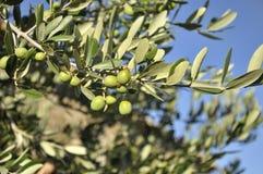 Olive branch (Olea europaea) Stock Photo