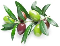 Olive branch with olive berries isolated on white background. Stock Images