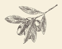Olive branch (olive tree branches) vintage illustration, engraved retro style, hand drawn Stock Photo
