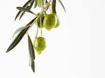 Olive branch with olives Stock Image