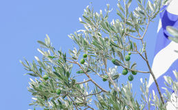 Olive branch. With olives in Greece Stock Photos