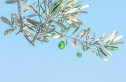 Olive branch. With olives in Greece Royalty Free Stock Photo