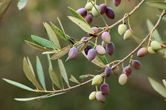 Olive branch on an organic farm stock images