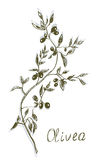 Olive branch painting hand drawn Royalty Free Stock Photography