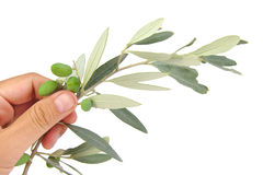 Olive branch in palm isolated on white background Stock Image