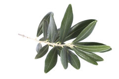 Olive branch. peace symbol Royalty Free Stock Photos