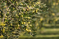 Olive branch with ripening green olives Stock Image