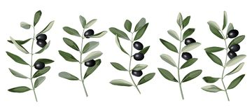 Olive Branch Set. In watercolor style isolated on white background. Mediterranean nature plant pattern Stock Images