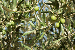 Olive branch. On sunny day Stock Photo