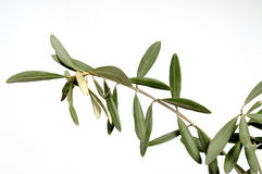 Olive branch symbol peace Royalty Free Stock Image