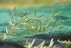 Olive branch on the tarpaulin Stock Photos