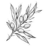Olive branch. Tattoo design. Vector illustration isolated on white. Olive branch. Tattoo design / Food ingredients / Italian cuisine. Vector illustration stock illustration