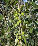 Olive branch with Tuscan olives Royalty Free Stock Images
