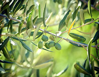 Olive branch with Tuscan olives Royalty Free Stock Image