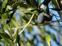 Olive branch with two black olives stock photos