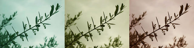 Olive Branch Variations Royalty Free Stock Images