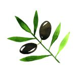 Olive Branch. Watercolor Stock Images