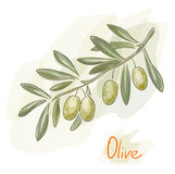Olive branch. Watercolor style. Royalty Free Stock Photography