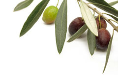 Olive Branch on White Background Royalty Free Stock Photo