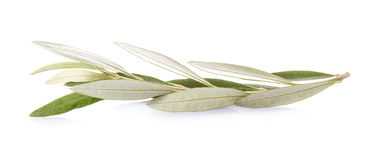 Olive branch  on a white background Stock Photography