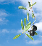 Olive Branch With Fruits Stock Photos