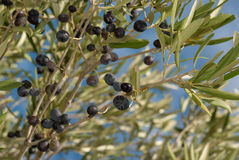OLive branches Royalty Free Stock Image